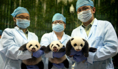 PHOTOS: 'Miracle' panda triplets open their eyes for first time
