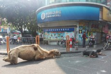 PHOTOS: Beggars sever camel's legs to get more money on streets throughout south China