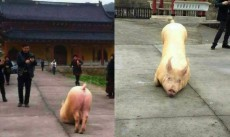Wenzhou's 'bowing' pig just proved there is a Buddha after all - but they still slaughtered it