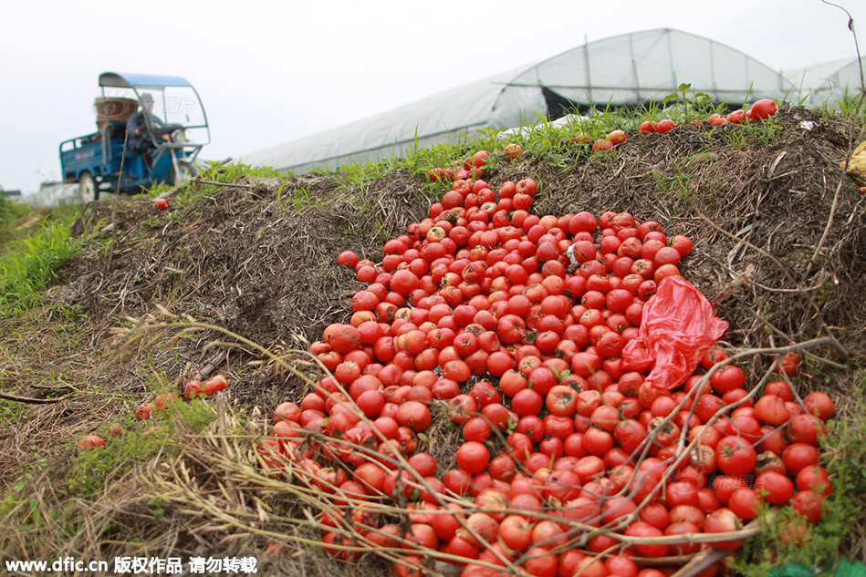 Tomato harvests are being dumped this year because prices are too low