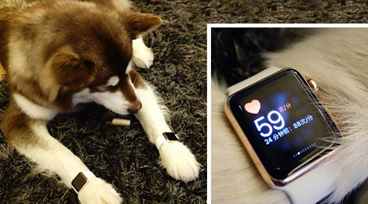 King of the tuhao: Wang Jianlin's son spends RMB250,000 on gold Apple Watches for his dog