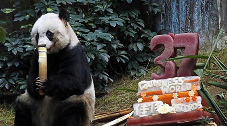Hong Kong panda becomes world's oldest while Taipei panda fakes pregnancy for perks